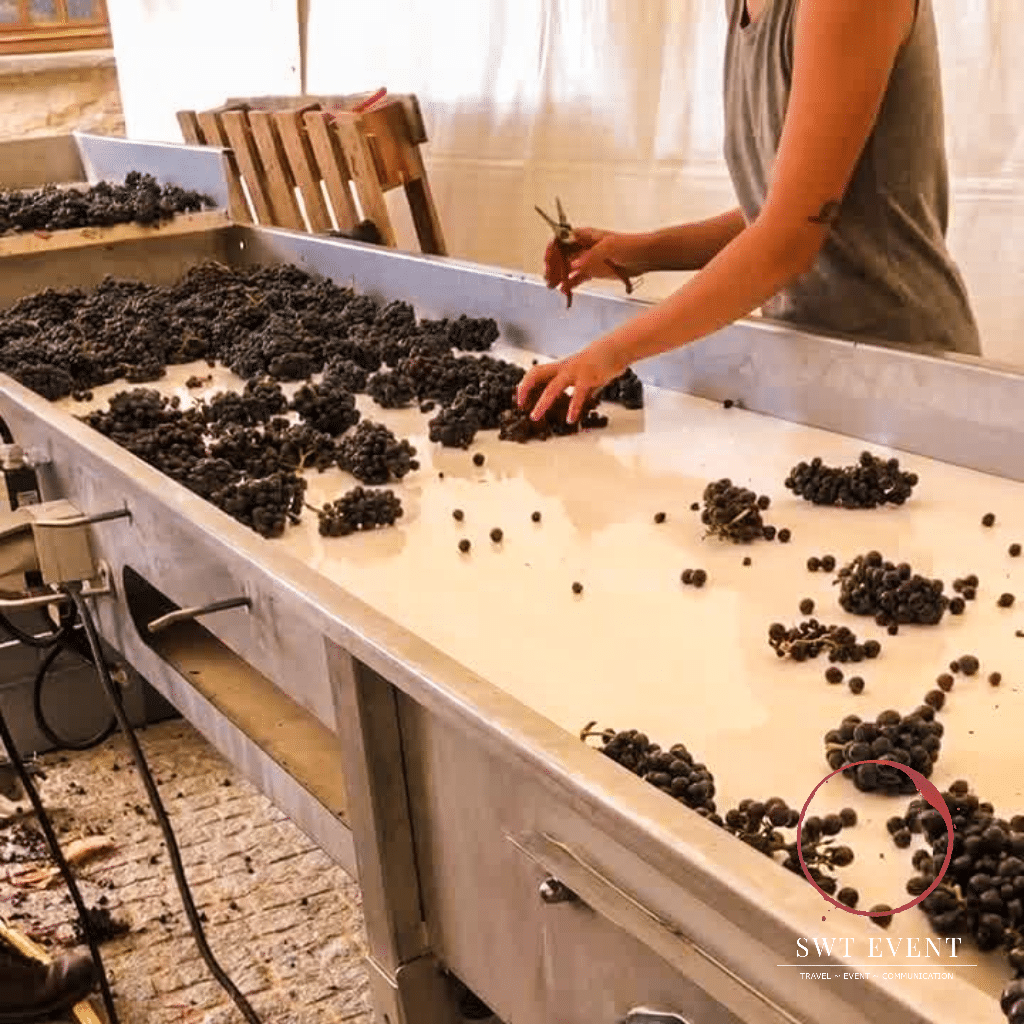 grape picking during harvest in burgundy